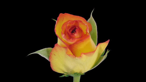 """Time-lapse of opening """"Birdy"""" rose with alpha matte 1 Stock Video Footage"""