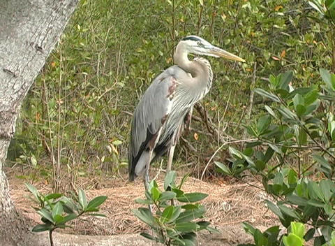Blue Heron Stock Video Footage