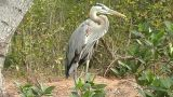 Blue Heron stock footage