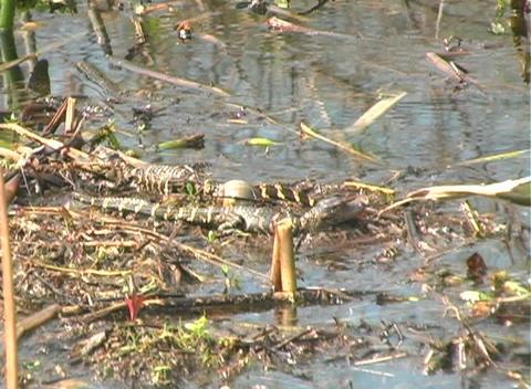 Gator 1 Stock Video Footage