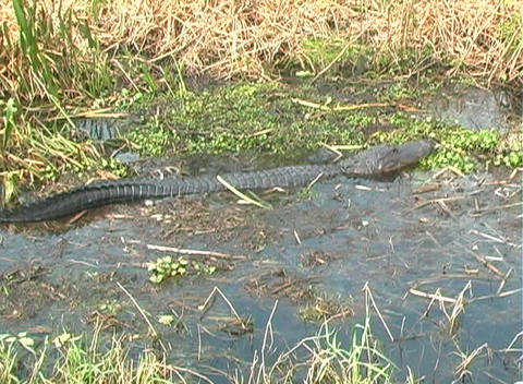 Gator 3 Stock Video Footage