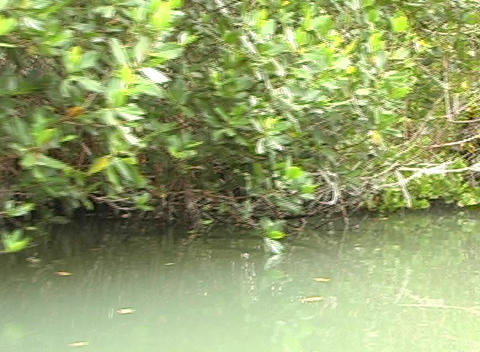 Florida Mangroves Stock Video Footage