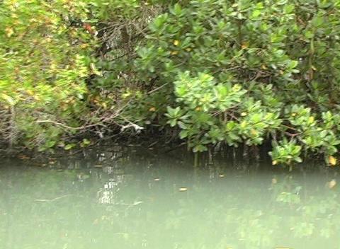 Florida Mangroves Stock Video Footage