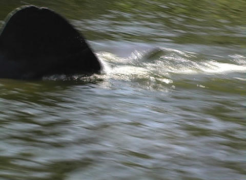 Manatee 1 Stock Video Footage