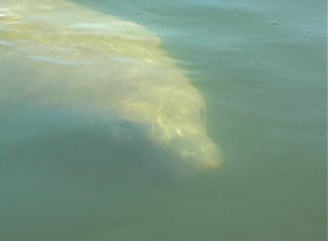 Manatee 9 Stock Video Footage