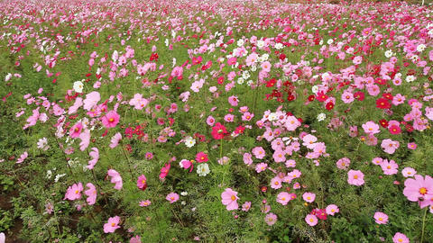 Cosmos Flowers Stock Video Footage