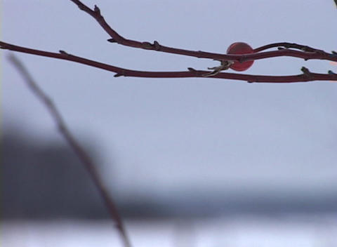 Snowy Tree Branch, Close-up Stock Video Footage