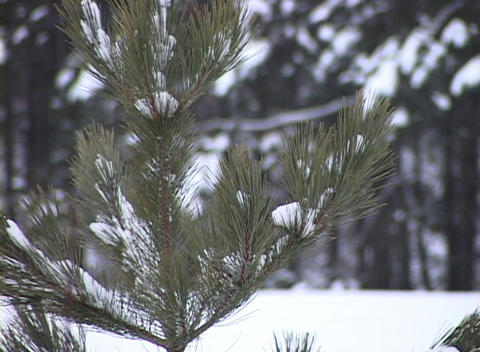 Snow-covered Young Pine Tree, Close-up stock footage