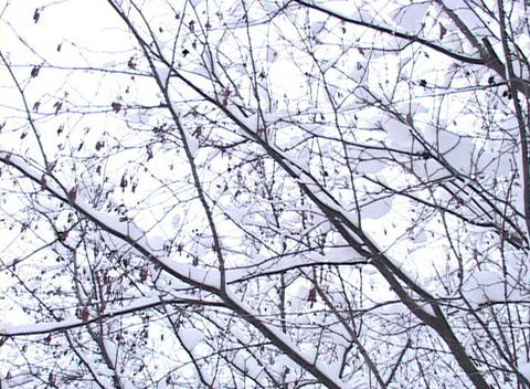 Snow -covered Trees, Low Angle Stock Video Footage