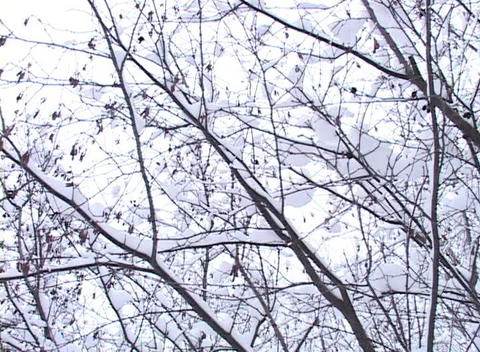 Snow -covered Trees, Low Angle Footage