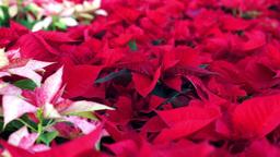 Poinsettia Christmas Plants Dolly Footage