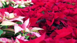 Poinsettia Christmas Plants Dolly Stock Video Footage