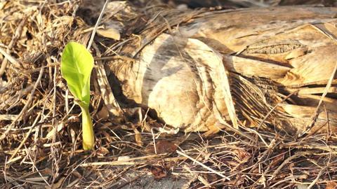 Banana Tree Environmental Dolly Stock Video Footage