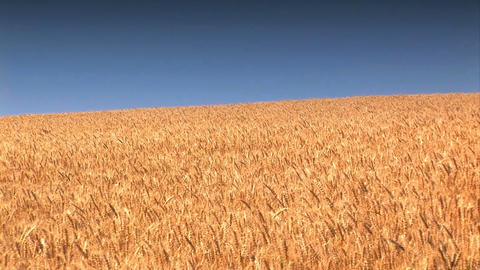 Wheat Field against a blue sky Stock Video Footage