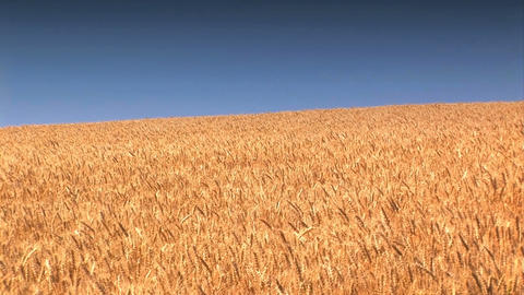 Wheat Field against a blue sky Footage