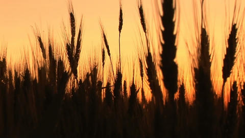 Wheat in silhouette at sunset Footage
