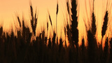 Wheat In Silhouette At Sunset stock footage
