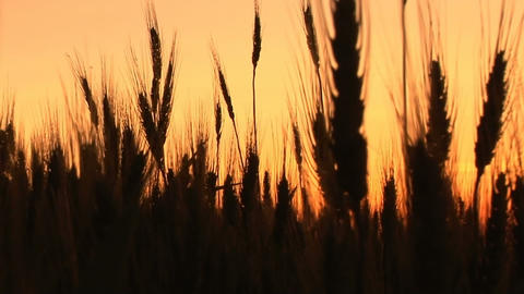 Wheat in silhouette at sunset Stock Video Footage
