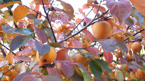 Asian persimmon tree Stock Video Footage