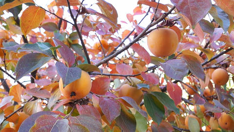 Asian Persimmon Tree stock footage