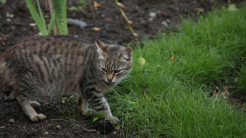 Grey cat eats grass Footage
