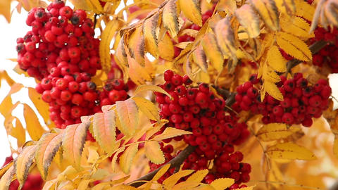 Bunch of the red and yellow leaves of mountain ash Footage