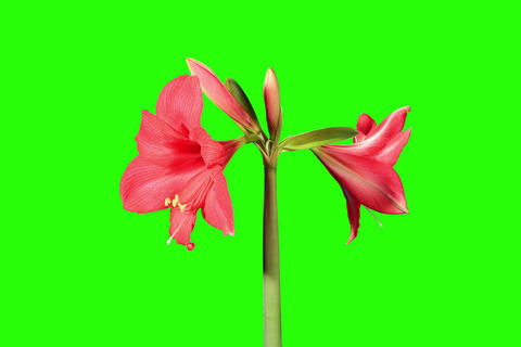 4K. Growth of red hippeastrum flower buds green sc Footage