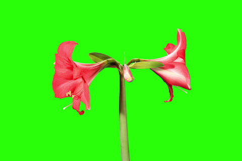 4K. Growth of red hippeastrum flower buds green sc Stock Video Footage