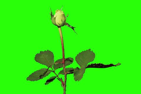 4K. Blooming green roses flower buds green screen Stock Video Footage