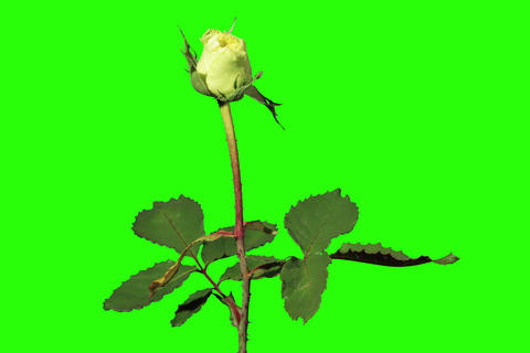 4K. Blooming green roses flower buds green screen Stock Video Footage