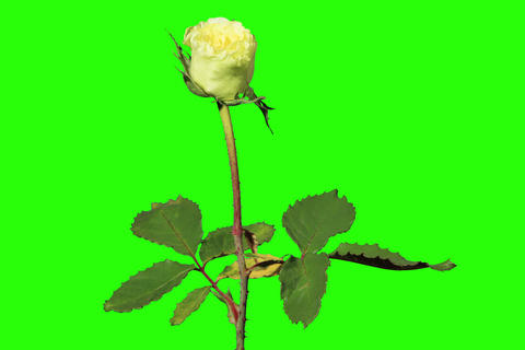 4K. Blooming green roses flower buds green screen Footage