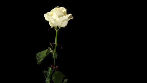 Blooming white roses on the black background, time Footage