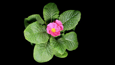 Flowering pink primula on the black background (Pr Stock Video Footage