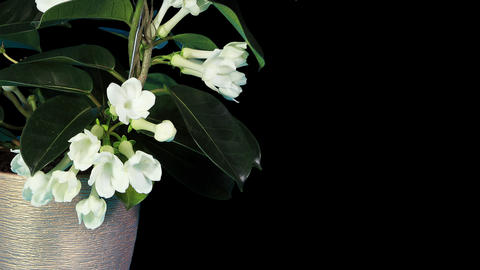 Time-lapse opening white stephanotis flower buds A Stock Video Footage
