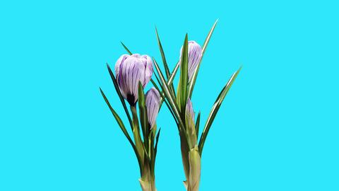 Growth of violet crocuses flower buds ALPHA matte Stock Video Footage