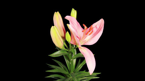 Blooming pink lily flower buds ALPHA matte (Lilium Stock Video Footage