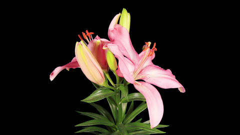 Blooming pink lily flower buds ALPHA matte (Lilium Footage
