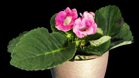Growth of Gloxinia flower buds ALPHA matte, FULL H Footage