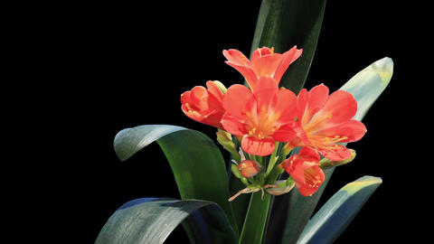 Growth of Clivia flower buds ALPHA matte, FULL HD Footage