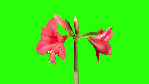 Growth of red hippeastrum flower buds green screen Stock Video Footage