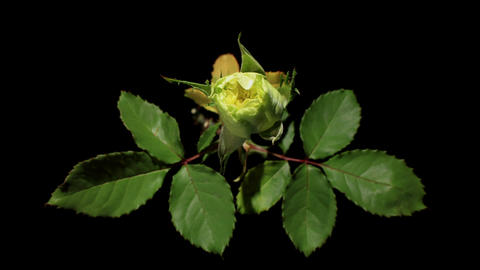 Blooming green roses flower buds on the black back Stock Video Footage