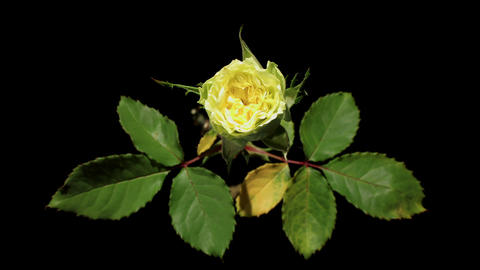 Blooming green roses flower buds on the black back Footage