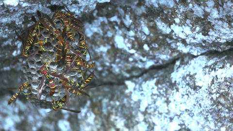 Dangerous Hornets Nest Dolly Stock Video Footage