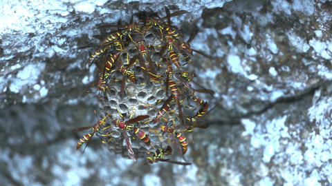 Dangerous Hornets Nest Dolly Stock Video Footage