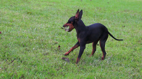 Manchester Terrier Playing Dolly Stock Video Footage