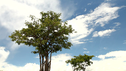 Solitary trees in dry environment Stock Video Footage