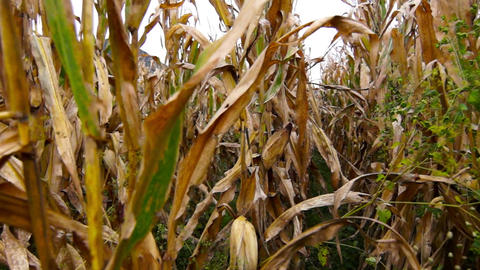 Maize field Stock Video Footage