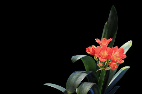 4K. Growth of Clivia flower buds ALPHA matte, FULL Footage