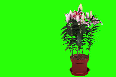 4K.Blooming pink lily flower buds green screen, FU Footage
