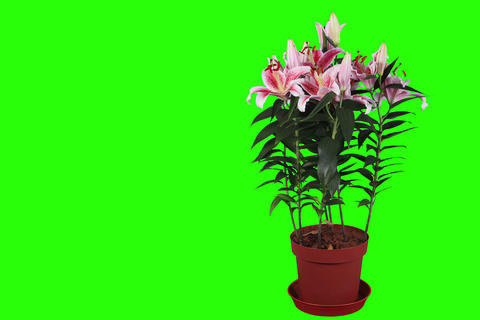 4K.Blooming pink lily flower buds green screen, FU Stock Video Footage